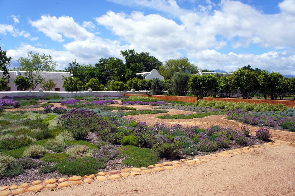 Lavender field at Babylonstoren farm, Cape Winelands, South Africa