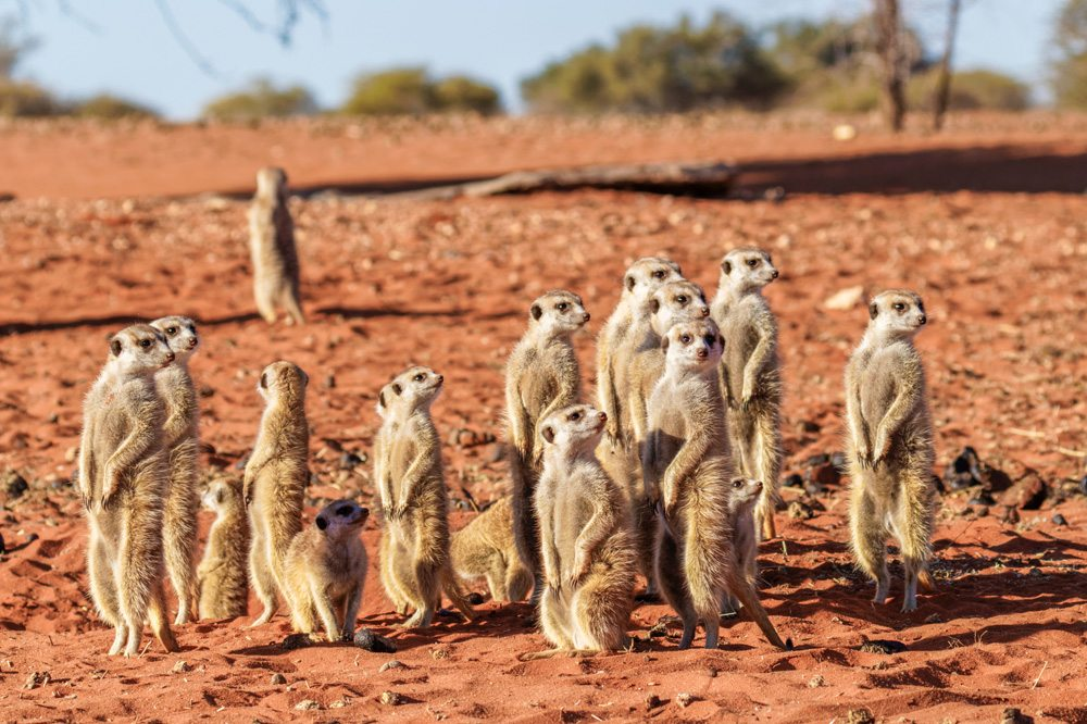 Meerkat family, Kalahari Desert, Namibia