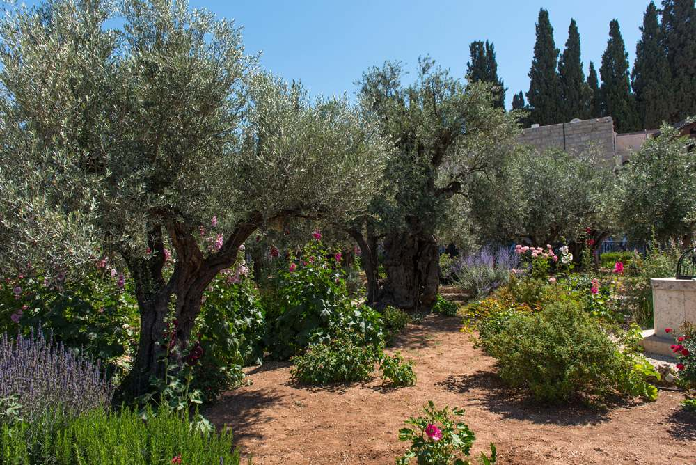 Olive trees in Garden of Gethsemane at the foot of the Mount of Olives in Jerusalem, Israel
