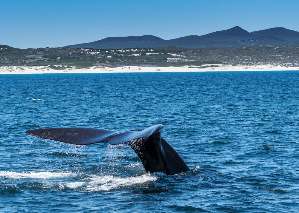 Southern right whale off the coast of Hermanus, South Africa _779980717