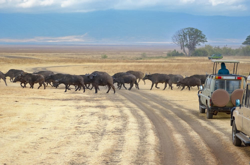 Tourists in jeeps watching buffalos crossing road in savannah of Kruger National Park, South Africa