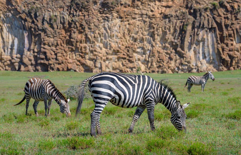 Zebras eating grass at Hell's Gate National Park, Kenya