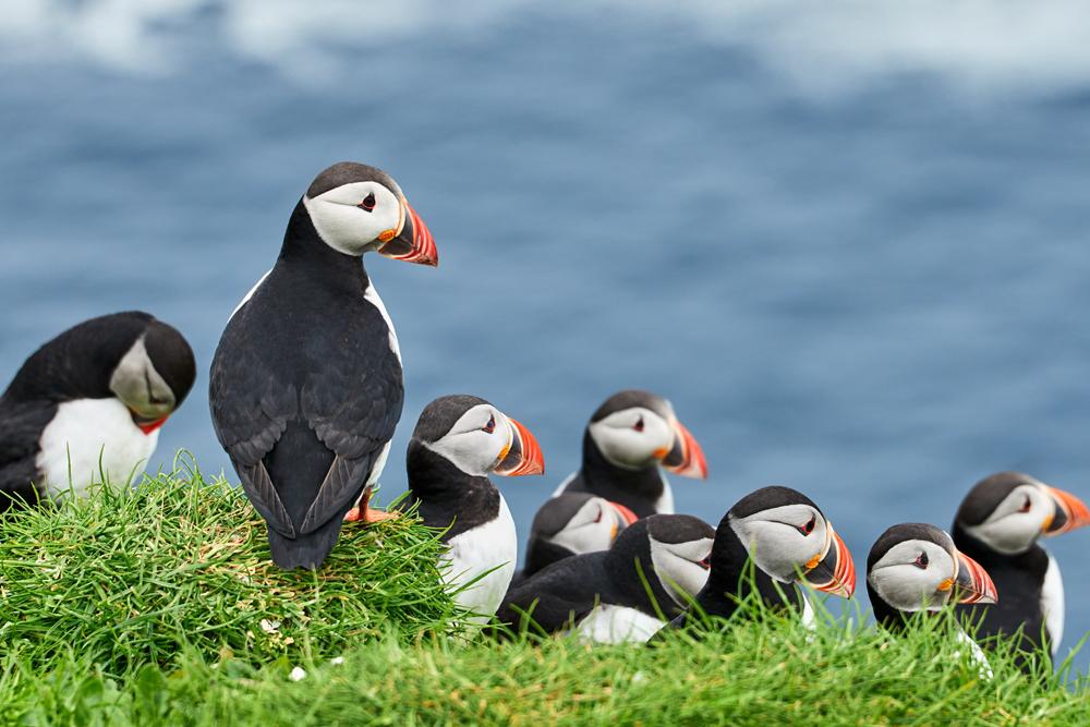 Puffins on Mykines Island, Faroe islands