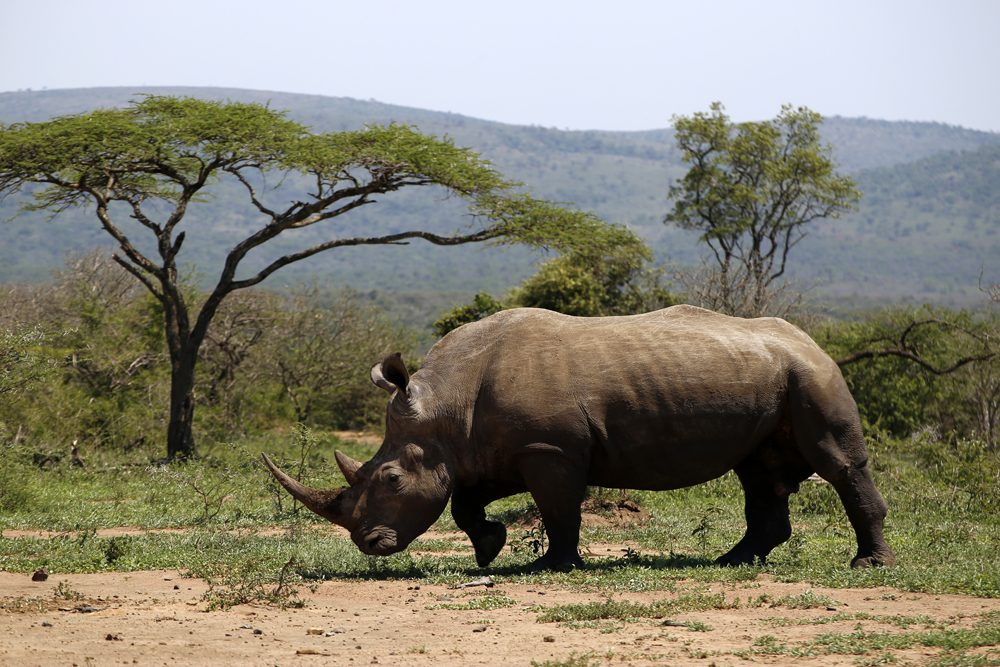 White rhino in Hluhluwe-Imfolozi Park, South Africa