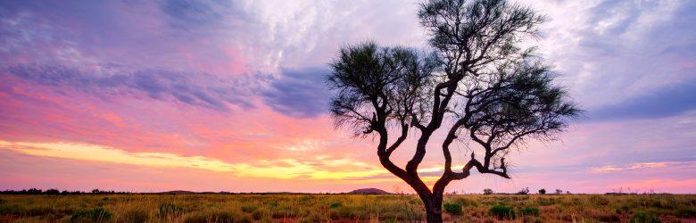 A Hakea Tree in the Australian Outback