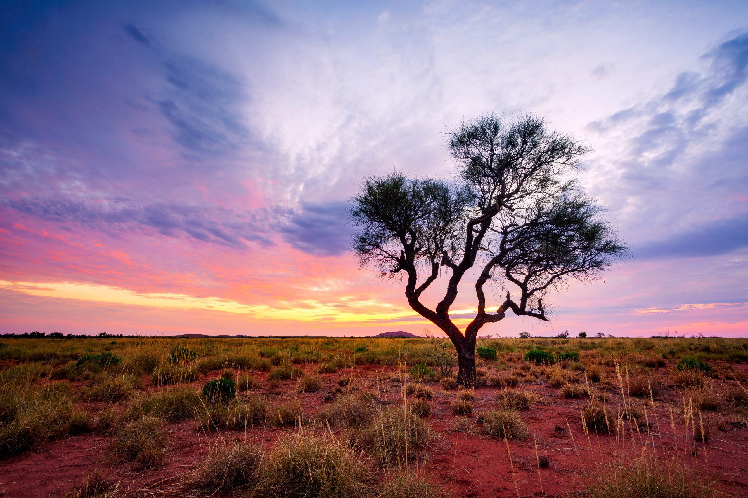 A Hakea Tree in the Australian Outback