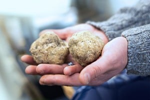 Harvesting white truffles