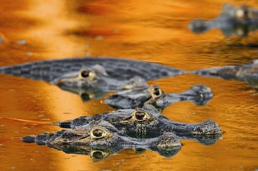 Yacare caiman crocodiles floating in the Pantanal wetlands