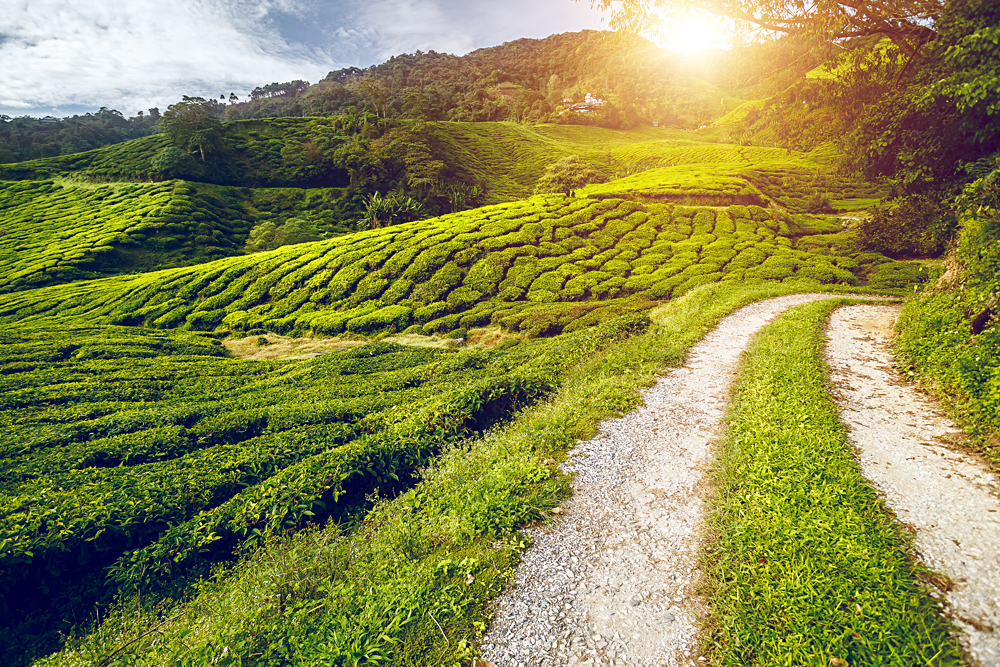 Tea Plantation and Rural Road at Sunset in the Cameron Highlands, Malaysia