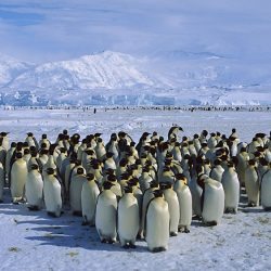 A Waddle of Penguins in Antarctica