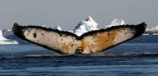 Whale Tail Waving in Antarctica