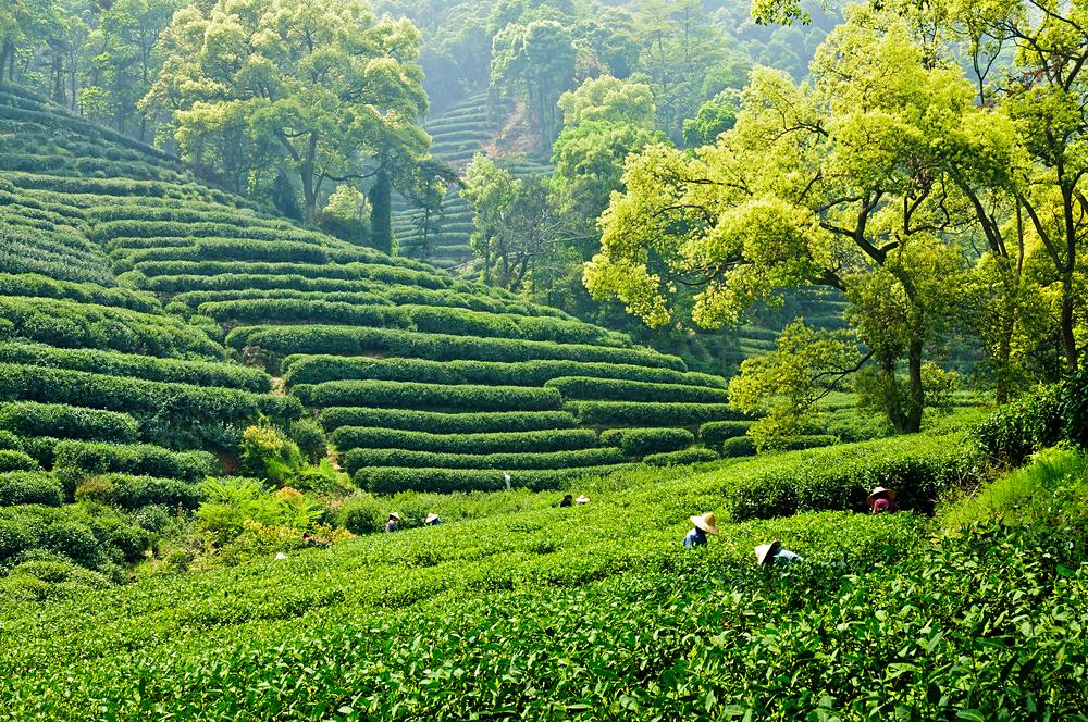 Tea plantation in Hangzhou, China