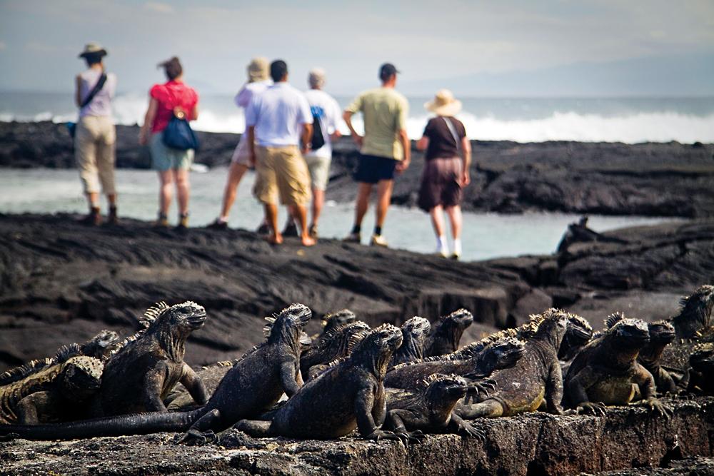 Group of Marine Iguanas with Group of Tourists, Fernandina island, Galapagos Islands, Ecuador