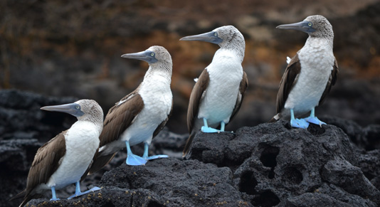 Blue Footed Boobies - The Galapagos