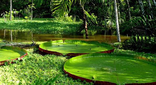 Giant Lilly pads - Brazil Amazon