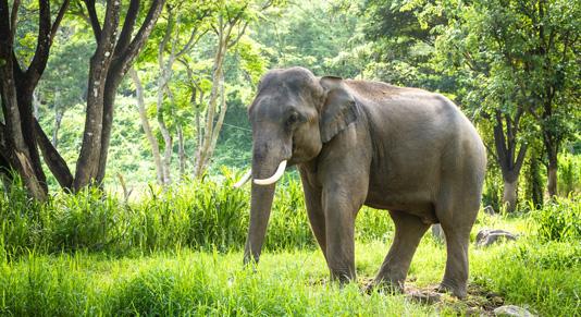 Elephant in it's Natural Habitat near Chiang Mai