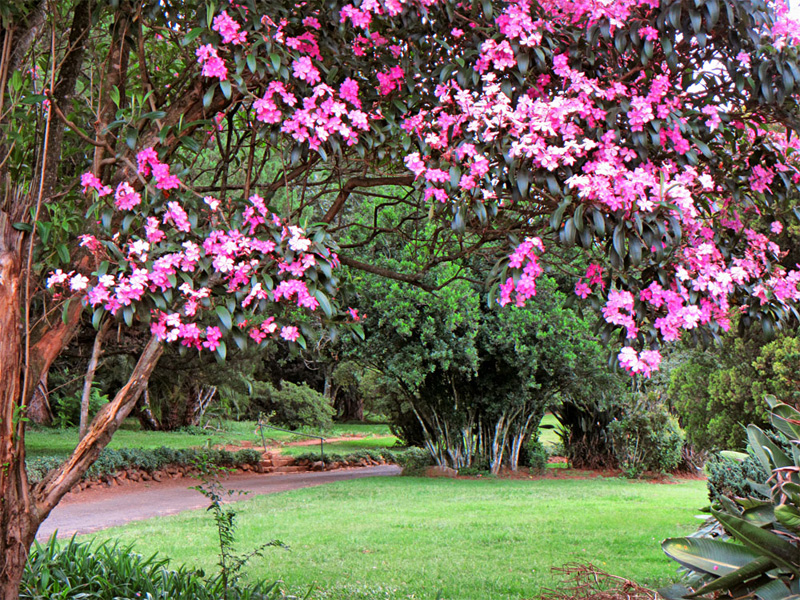 Blooming tree in Wylie Park, Pietermaritzburg