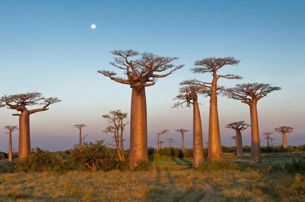 The Baobab Trees in Morondava