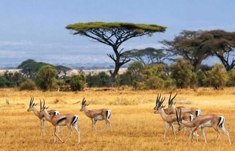 East African Impala